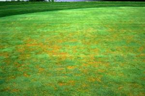 "However, without aerification, soil compaction increases, infiltration decreases and turfgrass health declines, thus causing the turfgrass cultural quagmire. Without aerification, all sorts of turfgrass disease become rampant. Diseases like Black Layer, Anthracnose, Pythium root dysfunction, Summer Bentgrass Decline, Summer Patch, Basal Stem Rot Anthracnose, Bentgrass Dead Spot and Gray Leaf Spot are all prime examples. When researching all of these diseases, the word ""Aerification"" is always mentioned as a way to avoid them. However, I never see ""only aerify in the spring and in the fall""."