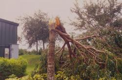 Another picture of hurricane Jeanne which winds blew 75 MPH for almost 24 hours causing wide spread tree damage.  This tree outside the Heron Bay Country Club as snapped in half.